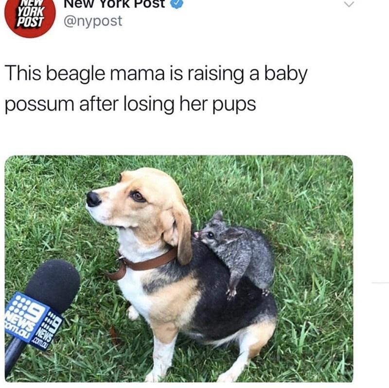 Dog - ew york Post YORK POST @nypost This beagle mama is raising a baby possum after losing her pups NEWS NEWS YOTLOU .com.au