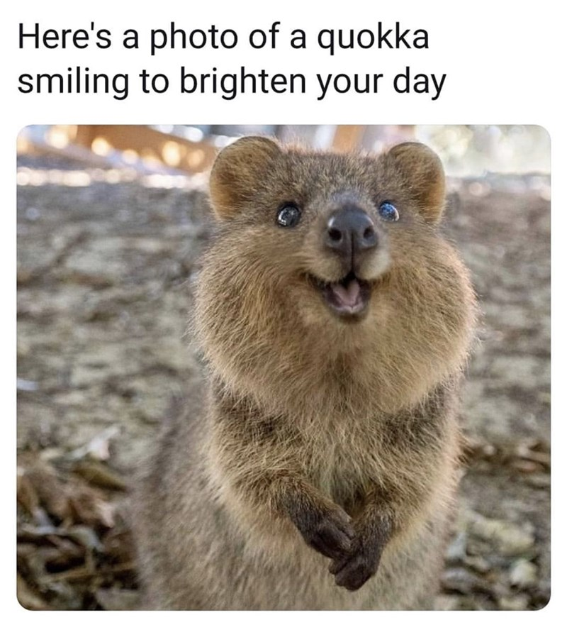 Adaptation - Here's a photo of a quokka smiling to brighten your day