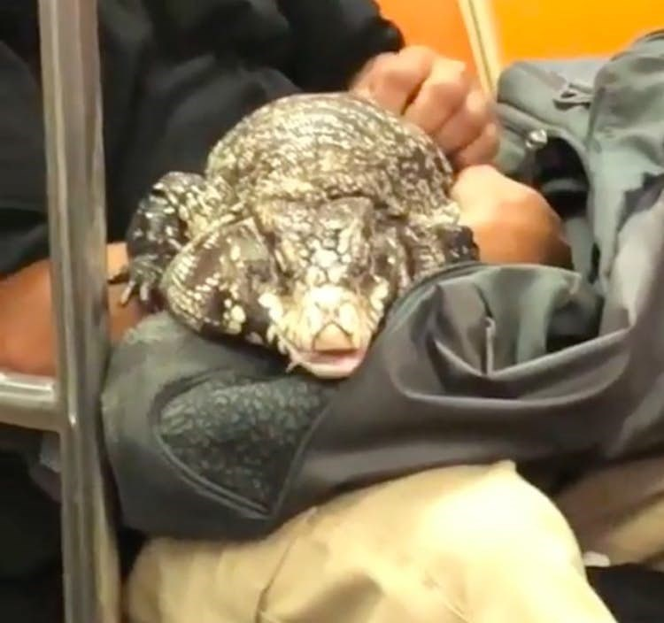Funny picture of someone holding a lizard on the subway