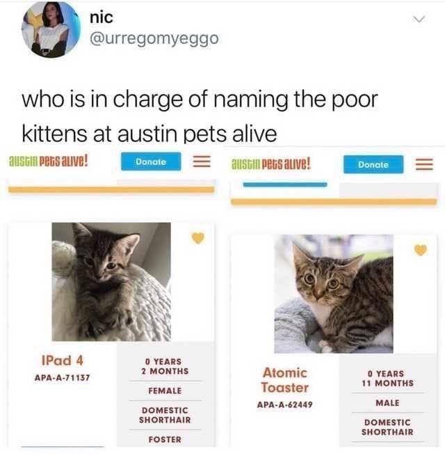 cats - Cat - nic @urregomyeggo who is in charge of naming the poor kittens at austin pets alive austin PeGs alive! austim peGs auve! Donate Donate IPad 4 0 YEARS 2 MONTHS Atomic 0 YEARS APA-A-71137 1 MONTHS Toaster FEMALE MALE APA-A-62449 DOMESTIC SHORTHAIR DOMESTIC SHORTHAIR FOSTER