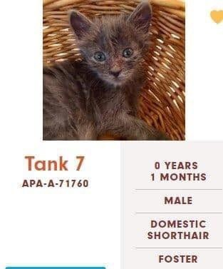 cats - Cat - Tank 7 O YEARS 1 MONTHS APA-A-71760 MALE DOMESTIC SHORTHAIR FOSTER