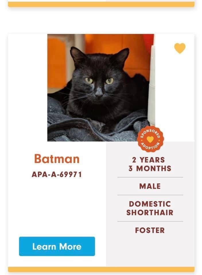 cats - Cat - OOPTION Batman 2 YEARS 3 MONTHS APA-A-69971 MALE DOMESTIC SHORTHAIR FOSTER Learn More