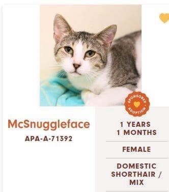 cats - Cat - ORHONS OMTIO McSnuggleface 1 YEARS 1 MONTHS APA-A-71392 FEMALE DOMESTIC SHORTHAIR MIX