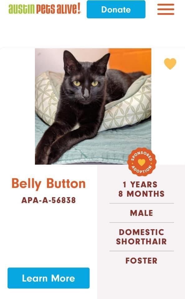 cats - Cat - austin Pets auve! Donate MONSOUE OPTIOT Belly Button 1 YEARS 8 MONTHS APA-A-56838 MALE DOMESTIC SHORTHAIR FOSTER Learn More SPO ods