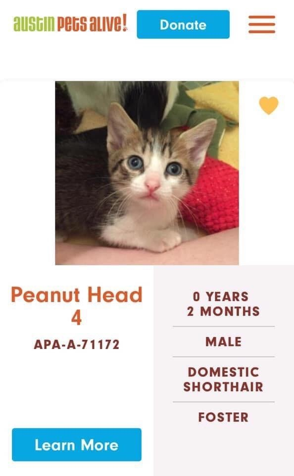 cats - Cat - austin Pets alive! Donate Peanut Head 4 O YEARS 2 MONTHS MALE APA-A-71172 DOMESTIC SHORTHAIR FOSTER Learn More