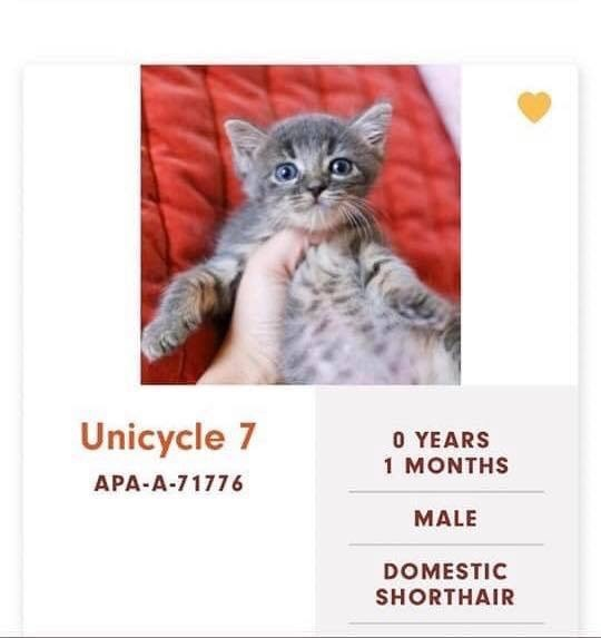 cats - Cat - Unicycle 7 0 YEARS 1 MONTHS APA-A-71776 MALE DOMESTIC SHORTHAIR