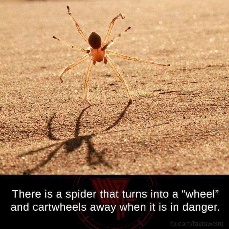 "Insect - There is a spider that turns into a ""wheel"" and cartwheels away when it is in danger. fb.com/factsweird"