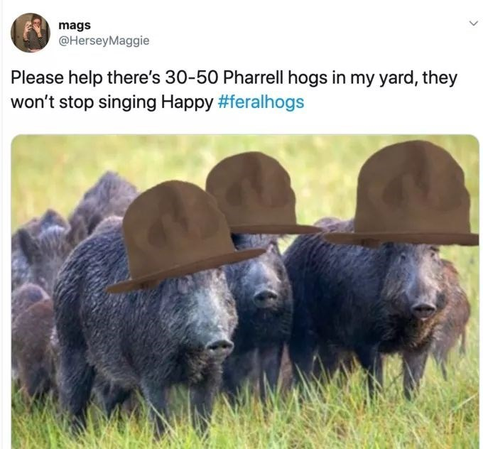 meme - Adaptation - mags @HerseyMaggie Please help there's 30-50 Pharrell hogs in my yard, they won't stop singing Happy #feralhogs