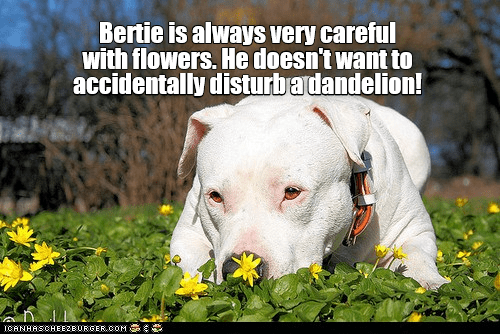 meme of a pit bull dog playing gently with a dandelion in a field outdoors somewhere with partially cloudy skies and leaves or plants growing all around on the ground