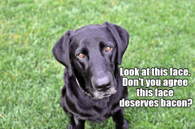 meme of a black labrador dog that deserves a slice of bacon