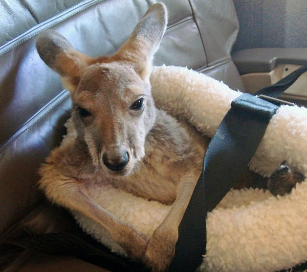 small kangaroo in fluffy case on airplane seat with seatbelt over top