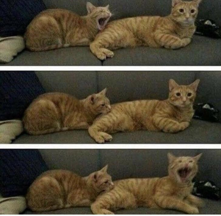 yawn yawning contagious Cats funny - 9344137472