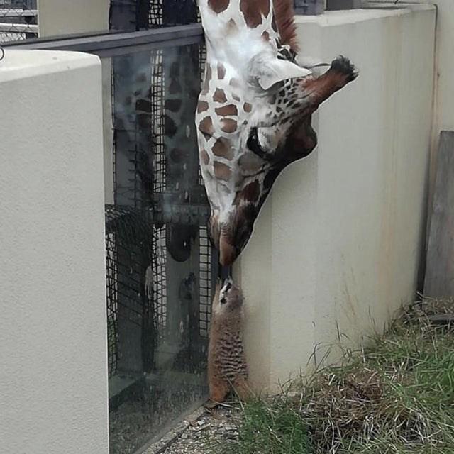 cute animal - Giraffe - T aWAW. TA ATAV