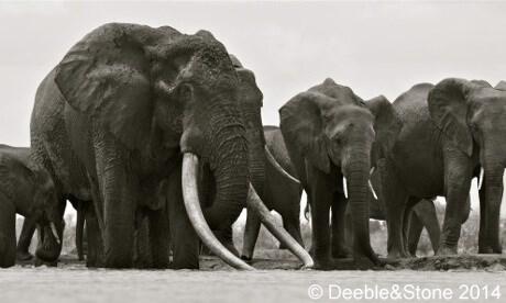 Elephant - ODeeble&Stone 2014
