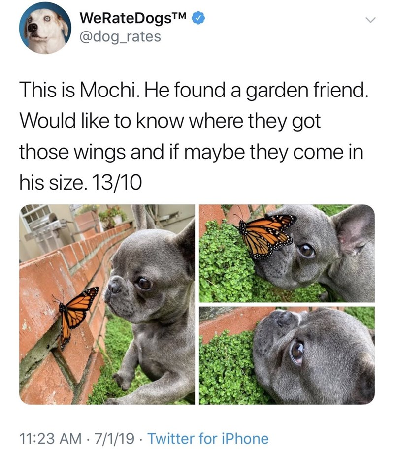 meme - Text - WeRateDogsTM @dog_rates This is Mochi. He found a garden friend. Would like to know where they got those wings and if maybe they come in his size. 13/10 11:23 AM 7/1/19 Twitter for iPhone