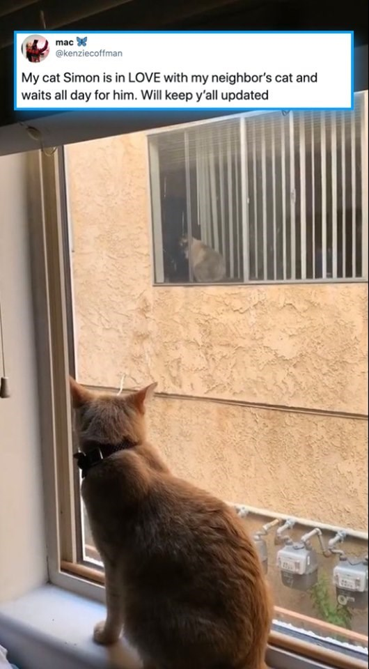 cats - Cat - mac @kenziecoffman My cat Simon is in LOVE with my neighbor's cat and waits all day for him. Will keep y'all updated