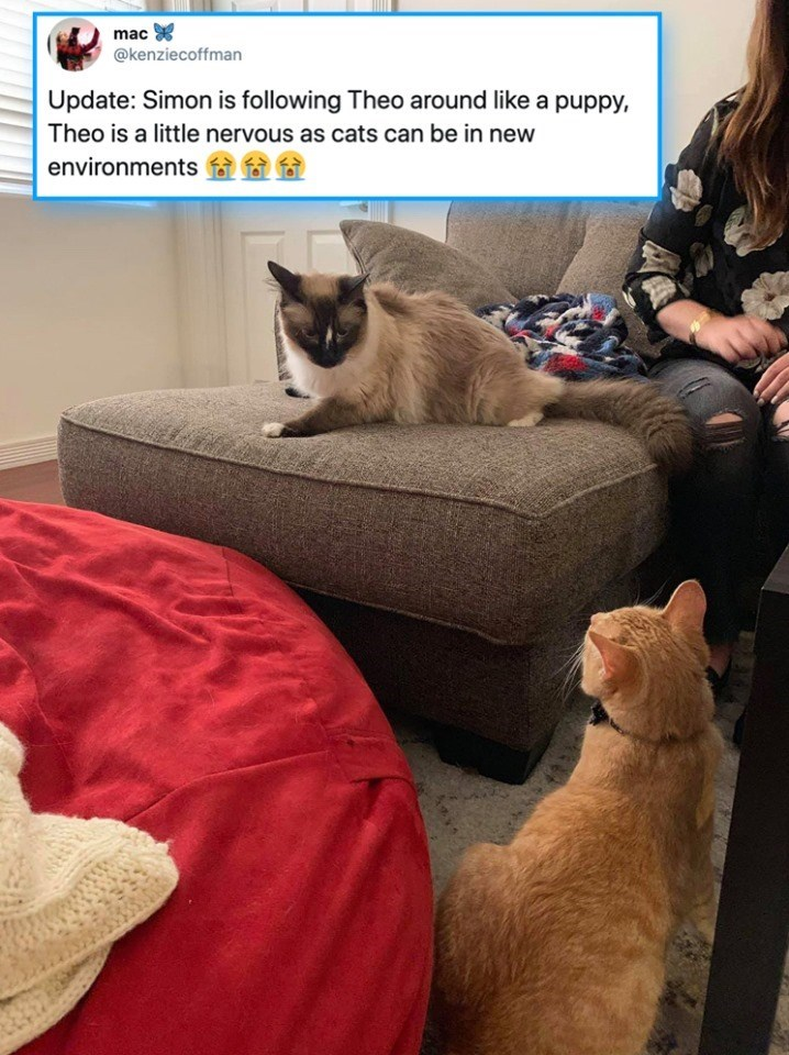 cats - Mammal - mac @kenziecoffman Update: Simon is following Theo around like a puppy, Theo is a little nervous as cats can be in new environments