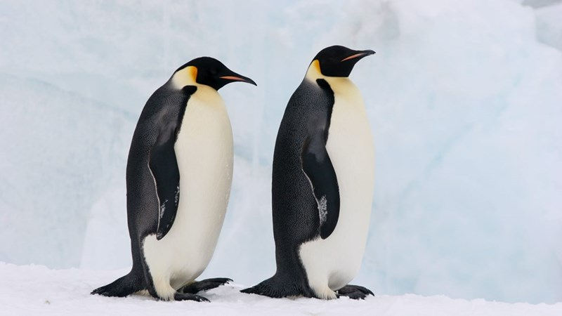 two penguins standing in the snow