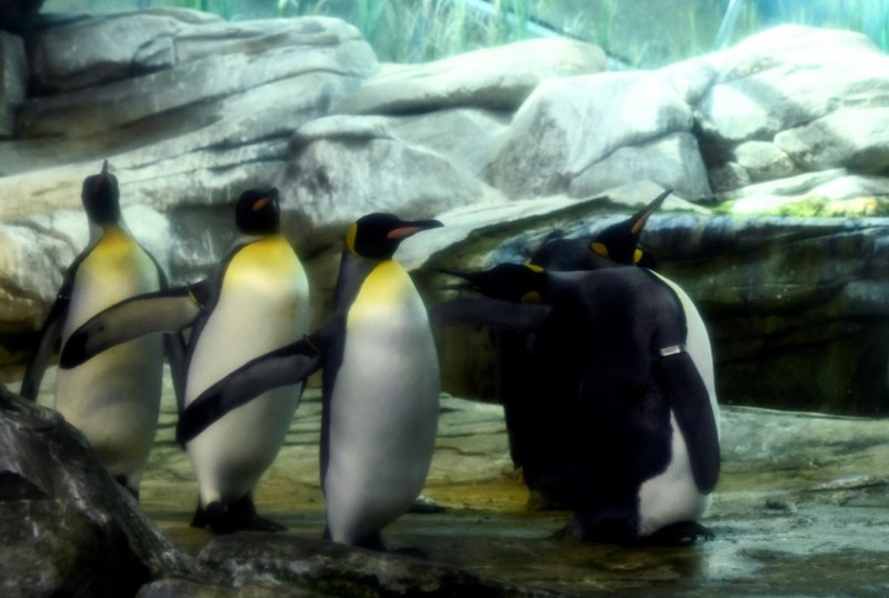 group of penguins inside zoo enclosure skipper and ping gay penguins
