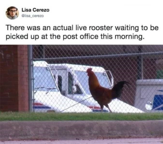 Bird - Lisa Cerezo @lisa cerezo There was an actual live rooster waiting to be picked up at the post office this morning.