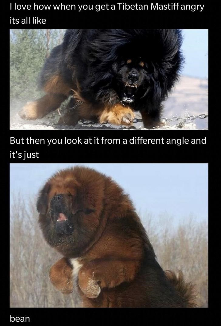 dogs meme tibetan mastiff funny - 9344963328