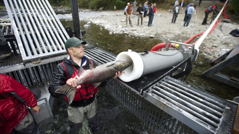 a man feeding a salmon fish into the salmon cannon tube