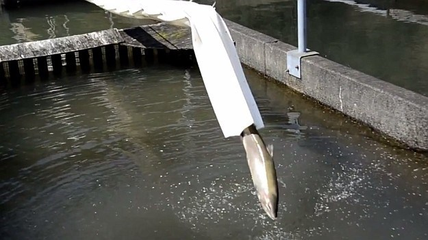 salmon coming out of the end of the salmon cannon into water