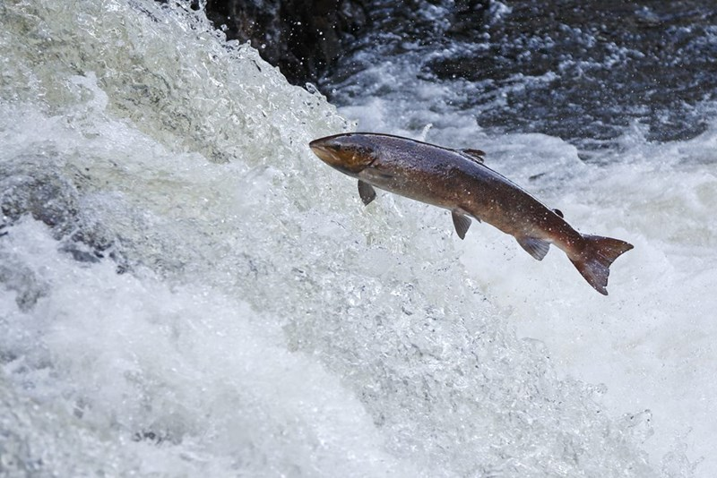 a single salmon fish jumping upstream in churning water