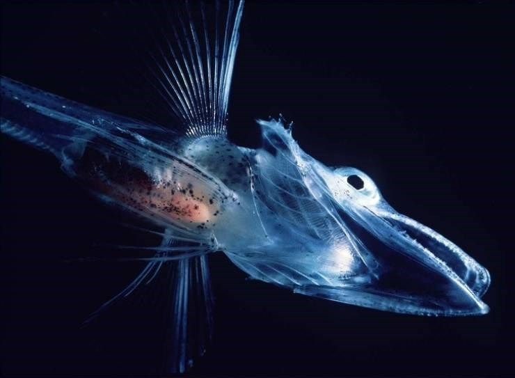 transparent animal - Fish