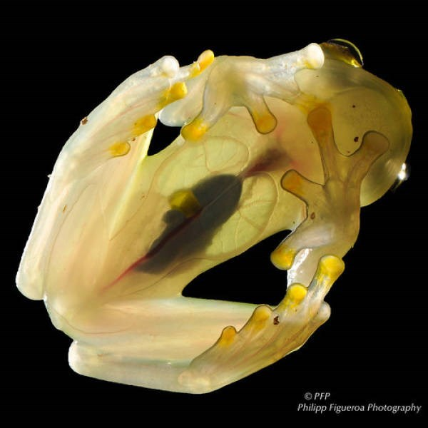 transparent animal - Yellow - OPFP Philipp Figueroa Photography