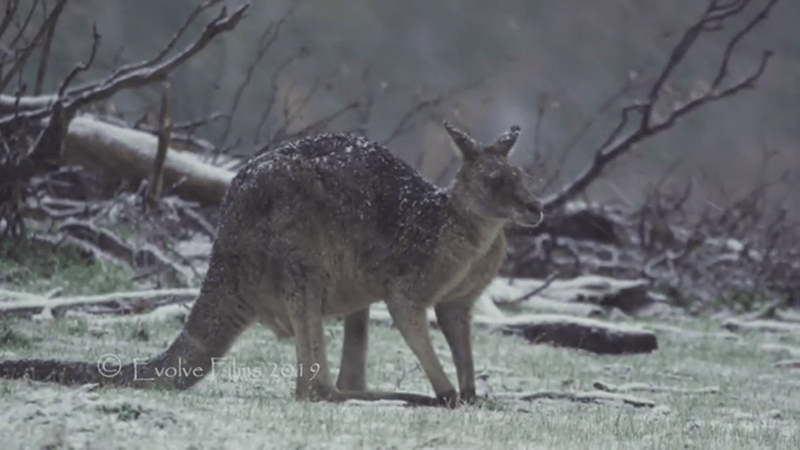 picture kangaroo sitting in snow