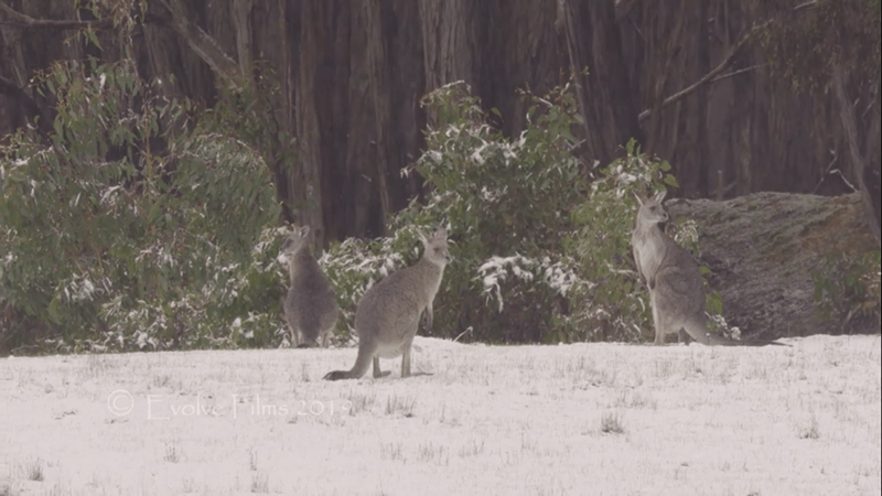 picture kangaroo in snow in front of trees