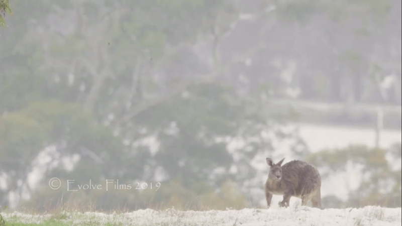picture kangaroo sitting on hill in snow
