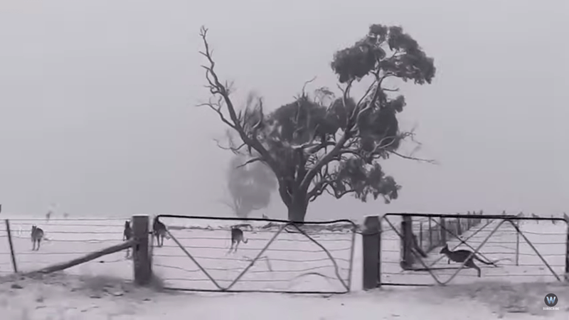picture kangaroos hopping past fence and tree in snow