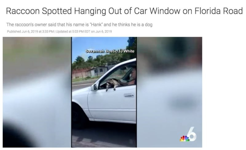 "florida man - Vehicle - Raccoon Spotted Hanging Out of Car Window on Florida Road The raccoon's owner said that his name is ""Hank and he thinks he is a dog Published Jun 6,2019 at 3:33 PM