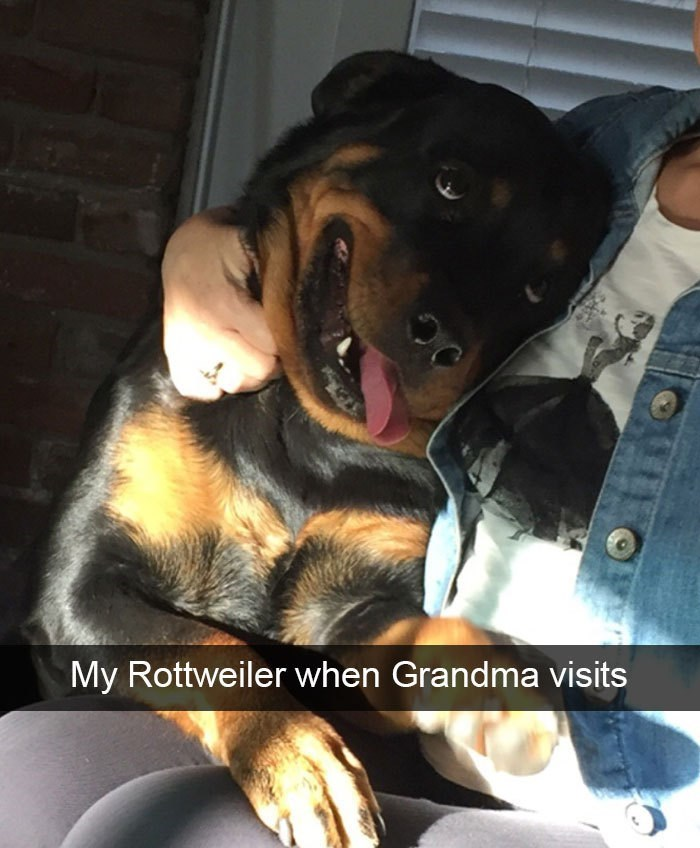 Canidae - My Rottweiler when Grandma visits