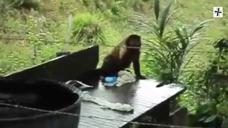 picture of monkey washing clothes