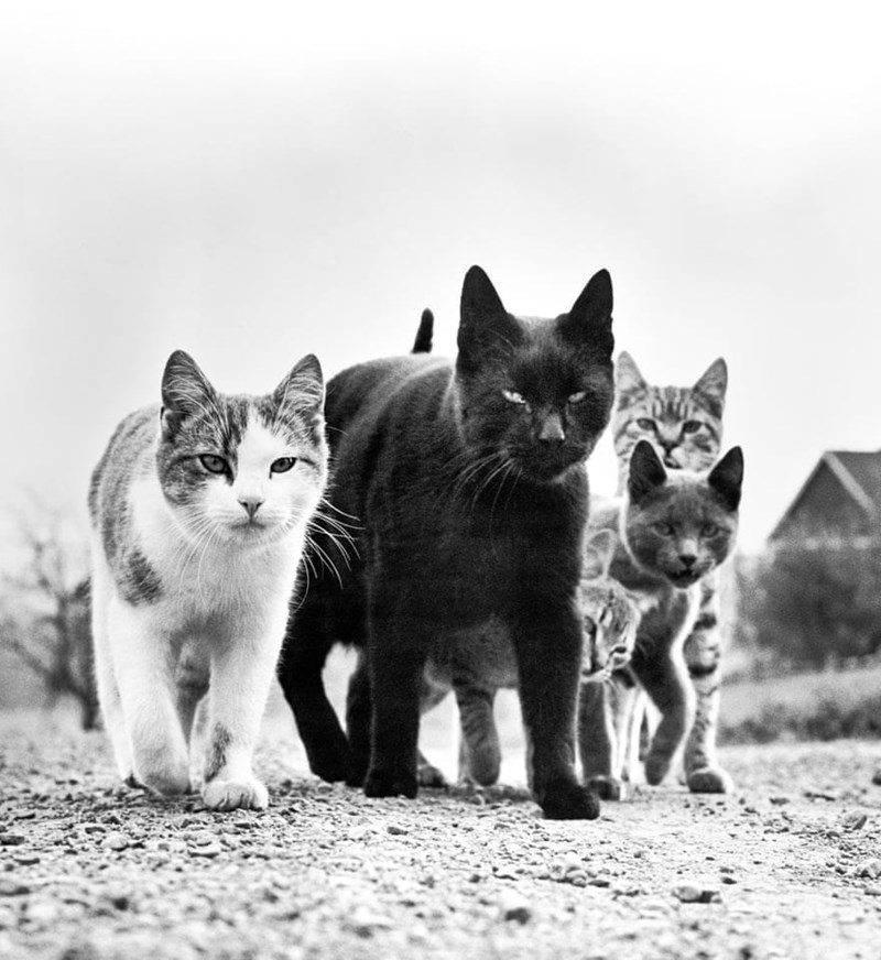 black and white picture of cats walking together in group