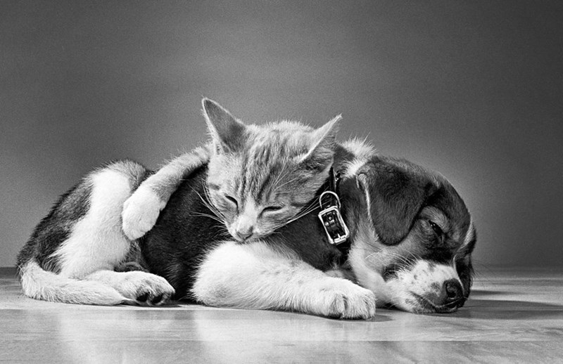 black and white photo of cat lying on top of beagle puppy