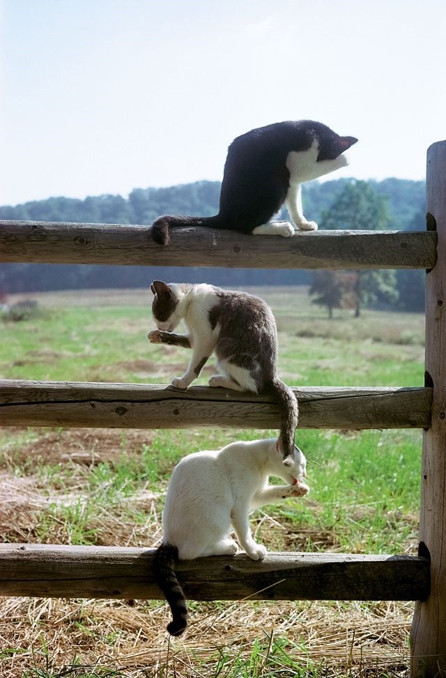picture three cats sitting on three poles of fence above each other all licking their paws at the same time