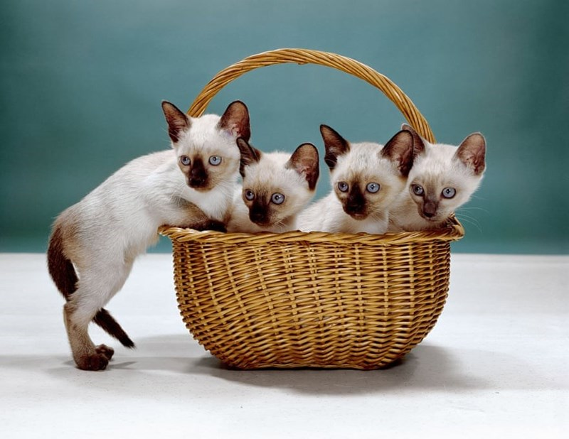 four siamese kittens inside basket in front of aqua background