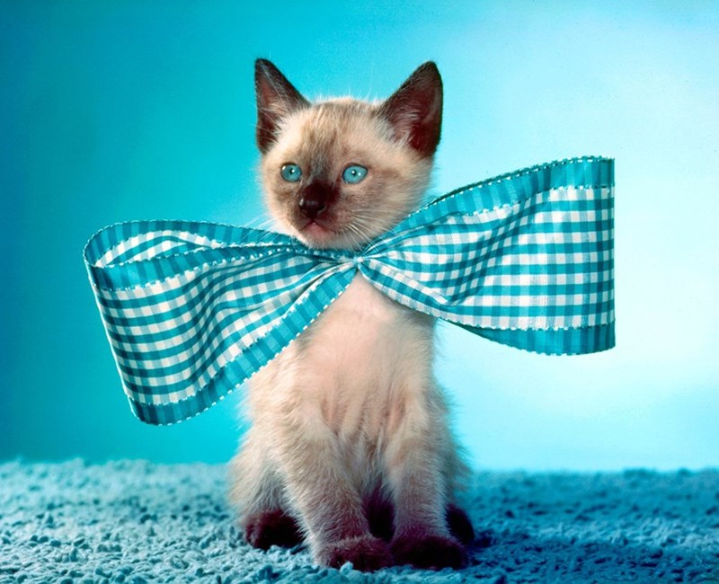 siamese kitten with blue eyes and big blue bow tie around neck on blue carpet with blue background