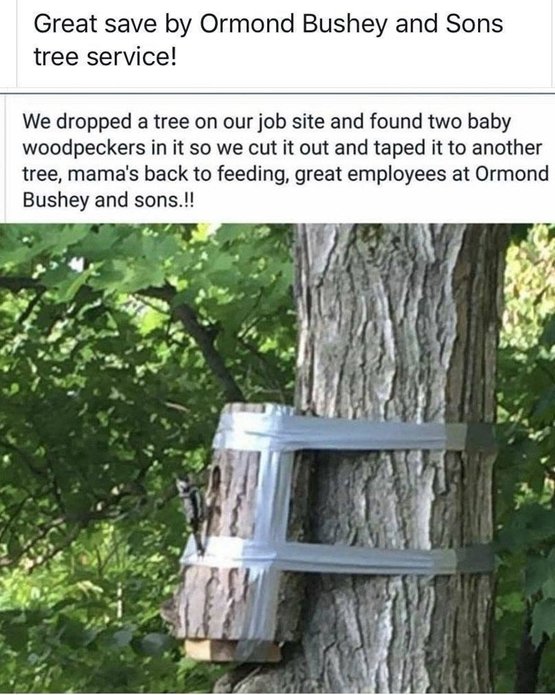 Tree - Great save by Ormond Bushey and Sons tree service! We dropped a tree on our job site and found two baby woodpeckers in it so we cut it out and taped it to another tree, mama's back to feeding, great employees at Ormond Bushey and sons.!!