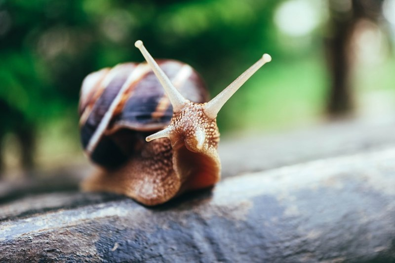 Zombie Snail waiting to get eaten by a bird
