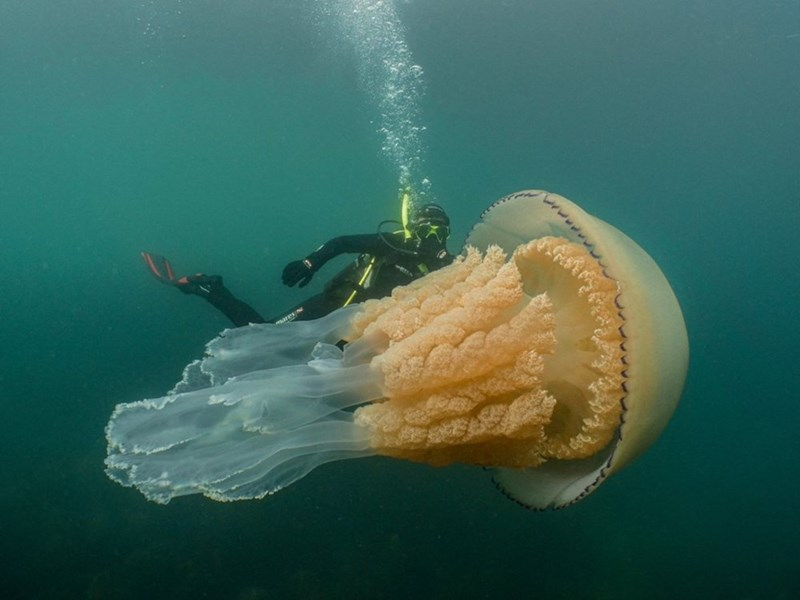 Monster Jellyfish - Huge human-sized jellyfish found off the Cornwall UK coast