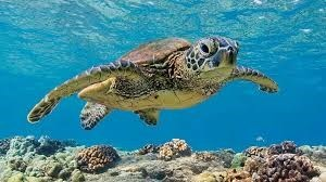 beautiful turtle swimming in blue water above coral