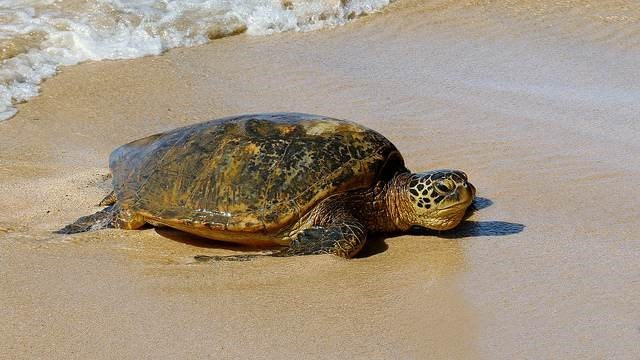big turtle resting on beach shore near water