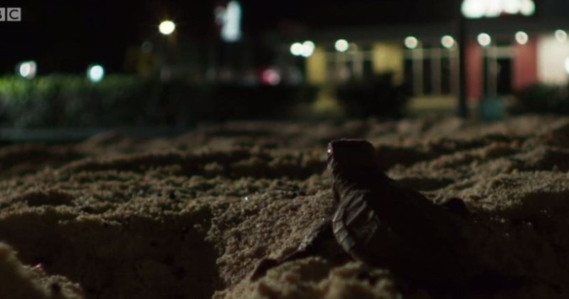 little turtle hatchling on sand looking at lights coming from building at night