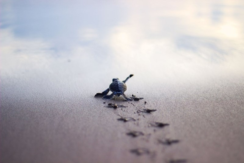 one little turtle hatchling making its way to the ocean on sand reflecting the sky flippers making marks in sand