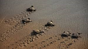 six turtle hatchlings on sand heading towards water flippers making marks on sand